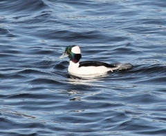 Bufflehead Male by CMaParsons