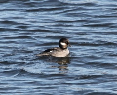 Bufflehead Female by CMaParsons