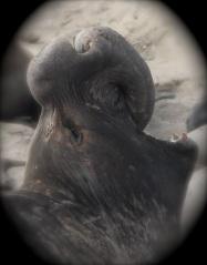 ElephantSealM1 by CMaParsons