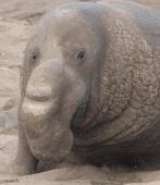ElephantSealM5 by CMaParsons
