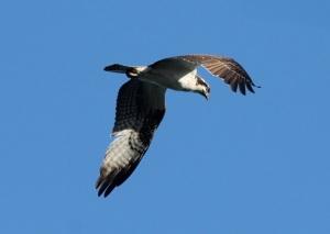 Osprey by CMaParsons