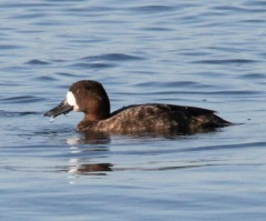 Scaup Female by CMaParsons