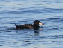 Surf Scoter Male by CMaParsons