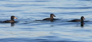 Surf Scoters by CMaParsons