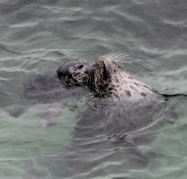 HarborSeal Mom+Pup by CMaParsons
