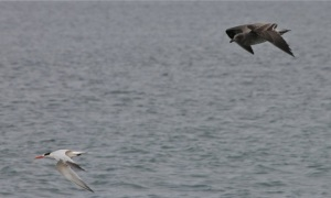 Tern+Gull2