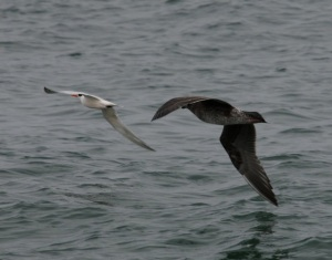 Tern+Gull3