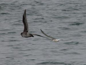 Tern+Gull4