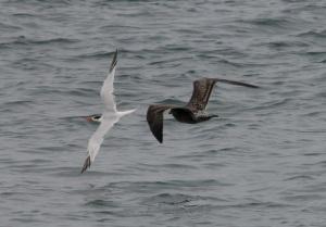 Tern+Gull5