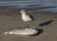 Gull&Mola by CMaParsons