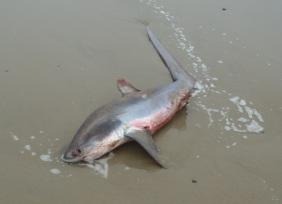 Thresher Shark by CMaParsons