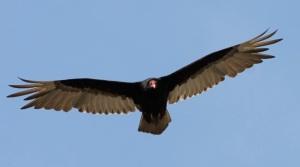 VultureFlying by CMaParsons