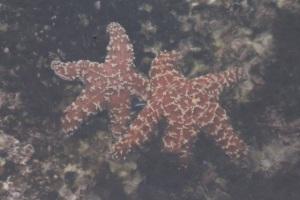 SeaStars2