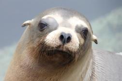Cali sea lion