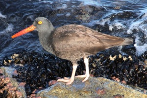 BlackOystercatcher by CMP