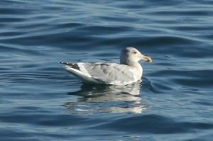 GlaucousWingedGull by CMP