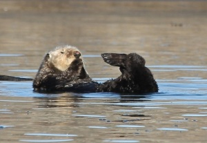 SeaOtter CMP10_31_15
