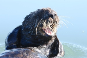 SeaOtter4 CMP10_31_15