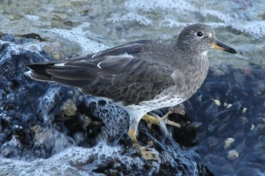 Surfbird by CMP