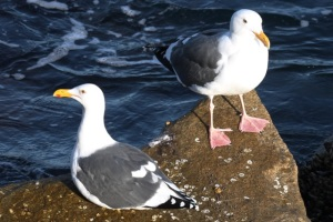 WesternGulls byCMP
