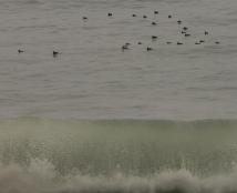Surf Scoter
