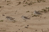 Snowy Plover & Sanderlings