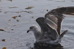 Gull FoggyDay CMaParsons