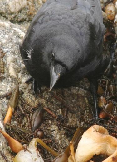 crow-cmaparsons