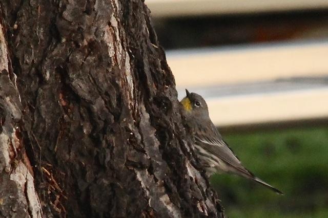 yellowrumpedwarbler-cmaparsons