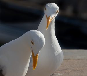 Two Western Gulls focus on a pile of bread crumbs